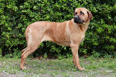 Japanese bandog tosa inu standing in the green Royalty Free Stock Photography