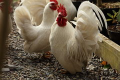 Japanese bantam cockerel. Stock Image