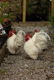 Japanese bantam cockerels. View of a japanese cockerels in closeup on gravel Royalty Free Stock Images