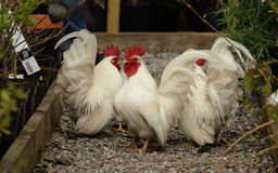Japanese bantam cockerels. View of a japanese cockerels in closeup on gravel Stock Image