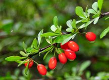 Japanese Barberry Royalty Free Stock Images