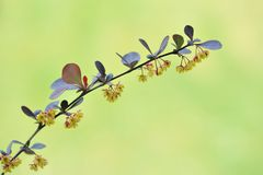 Japanese barberry, Thunberg's barberry, flowers. Berberis thunbergii. Royalty Free Stock Images