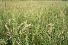 Japanese barnyard millet. Ripe japanese barnyard milletEchinochloa esculenta field in autumn Royalty Free Stock Photos