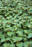 Japanese basil. Fresh japanese basil grow in garden Stock Image