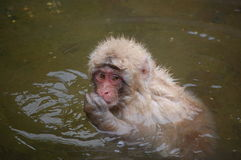 Japanese bathing Snow Monkey. Taken in world famous Jigokidani hotspring, Japan, this snow monkey seeks refuge in the warm waters of the springs to avoid being Stock Photo