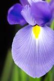 Japanese beardless blue iris Royalty Free Stock Photos
