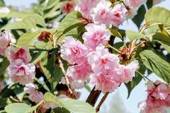 Japanese beautiful sakura flower  in april garden. Beautiful nature sakura flower in the garden Stock Photo