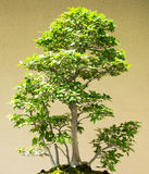 Japanese beech forest bonsai from Fagus Grenata royalty free stock images