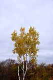 Japanese beech. The light gray and smooth bark of Japanese beech with gold - brown foliage in autumn stock image