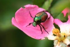 Japanese Beetle. Destructive little Japanese Beetle Stock Photos