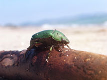 Japanese beetle on a beach in summer. Stock Photo