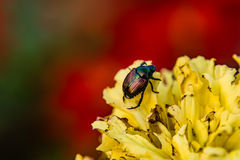 Japanese Beetle. Closeup of a Japanese Beetle on a burnt yellow flower with colorful background Stock Photo