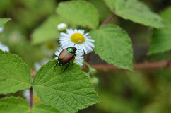 Japanese Beetle and Daisy Stock Photography