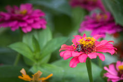 Japanese beetle eating a pink zinnia flower Royalty Free Stock Photos