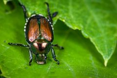 Pesky Japanese Beetle royalty free stock images