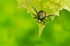 Japanese Beetle. On a green leaf. Tormroden Mills, Toronto, Ontario, Canada Stock Photography
