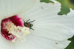 Japanese beetle on a hibiscus flower. A Japanese Beetle moves around a hibiscus flower that it has caused damage too Royalty Free Stock Photos