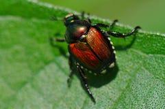 Japanese beetle on leaf stock images