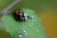 Japanese beetle Royalty Free Stock Image