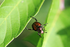 Japanese Beetle Royalty Free Stock Photo