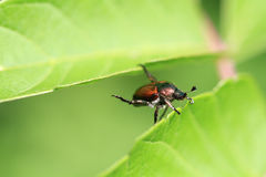 Japanese Beetle Stock Photography