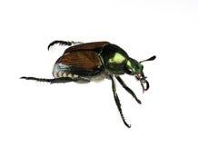 Japanese Beetle Royalty Free Stock Photography