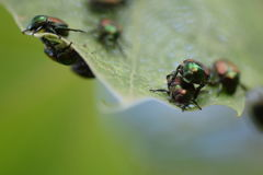 Japanese  beetle. This is one of many infesting the tree this particular tree I believe was Birch tree Stock Photo