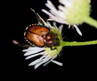 Japanese Beetle Stock Photography