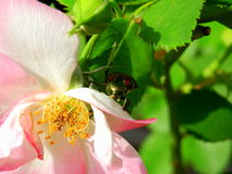 Japanese Beetle on pink rose in morning sunlight. Pink and white rose in morning sunlight Japanese beetle pests gardening roses Royalty Free Stock Images