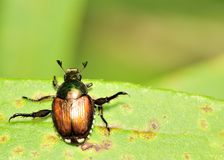 Japanese Beetle - Popillia japonica Royalty Free Stock Photography