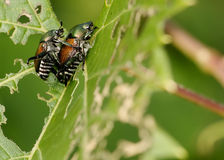 Japanese Beetle - Popillia japonica Royalty Free Stock Photo