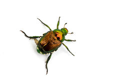 Japanese Beetle Popillia japonica Stock Photography
