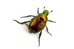 Japanese Beetle Popillia japonica Royalty Free Stock Image