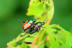 Japanese beetle. (Popillia japonica) in Japan Stock Image
