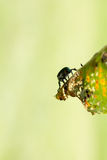Japanese Beetle Popillia japonica on Leaf Stock Photo