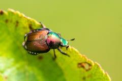 Japanese Beetle Popillia japonica on Leaf Royalty Free Stock Photos