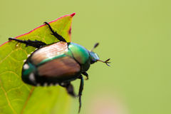 Japanese Beetle Popillia japonica on Leaf Royalty Free Stock Images