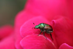Japanese Beetle on Rose Stock Photo