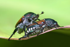 Japanese Beetles. A Mating Pair Of Japanese Beetles, Popillia japonica Royalty Free Stock Photos