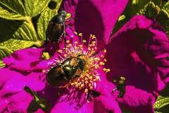 Japanese Beetles feeding on roses Royalty Free Stock Images