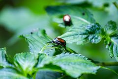 Japanese beetles on the leaves. royalty free stock images