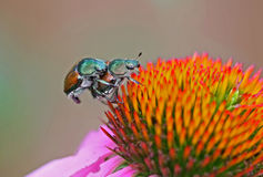 Japanese Beetles Mating Stock Photos