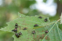 Japanese beetles. This is one of many infesting the tree this particular tree I believe was Birch tree Stock Photos