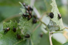 Japanese beetles Stock Photos