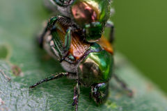 Japanese Beetles Stock Images
