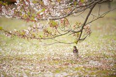 Japanese bird and cherry blossoms Royalty Free Stock Image