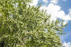 Full blossoming flowers under sky. Japanese bird cherry full blossoms Padus grayana under sky in early summer Stock Image