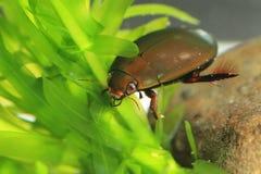 Japanese black diving beetle Stock Image