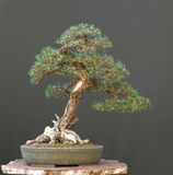 Japanese black pine bonsai stock images