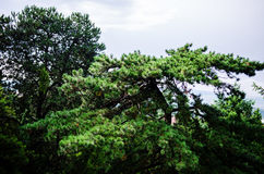 Japanese Black Pine Stock Photos
